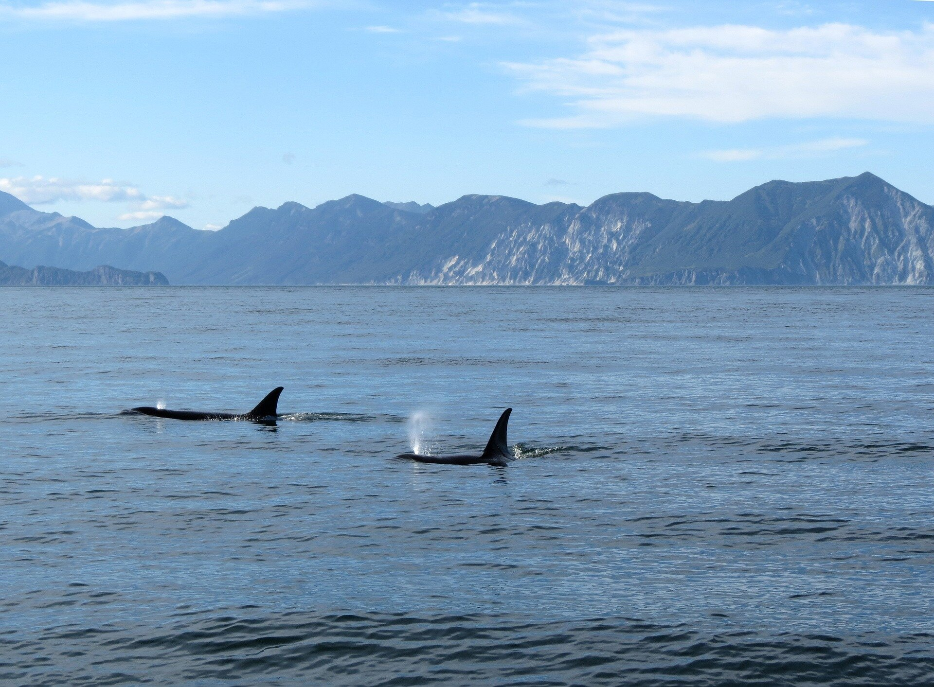orcas swimming in water
